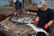 обработчики рыбы